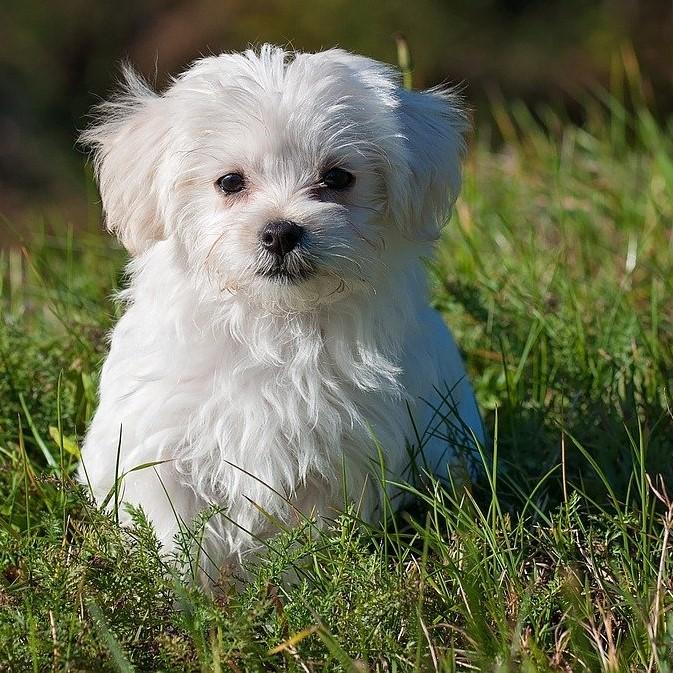 Weißer Wuschelhund